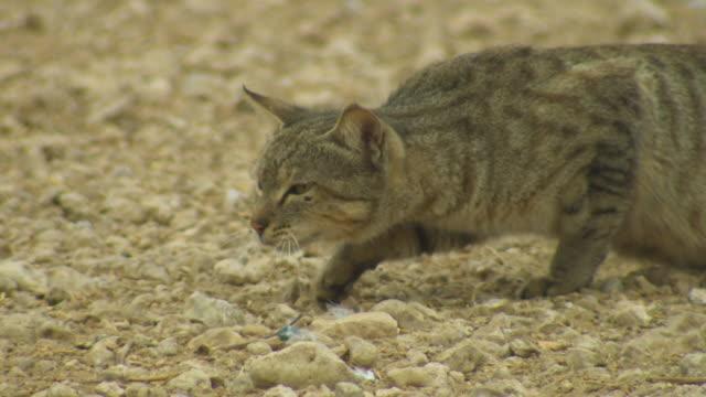 vídeos y material grabado en eventos de stock de ms domestic cat stalking domestic pigeons zi to cu cat and pan left as it moves - animales cazando