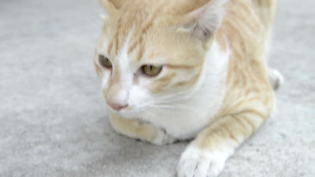 domestic cat - morrhår bildbanksvideor och videomaterial från bakom kulisserna