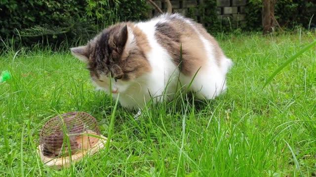 vídeos de stock, filmes e b-roll de gato doméstico com o rato na ratoeira - espreitando