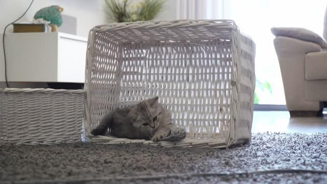vídeos de stock, filmes e b-roll de domestic cat, young gray  kitten - domestic animals