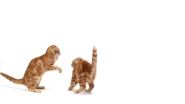 vidéos et rushes de ms slo mo domestic cats fighting against white background / vieux pont, normandy, france - agression
