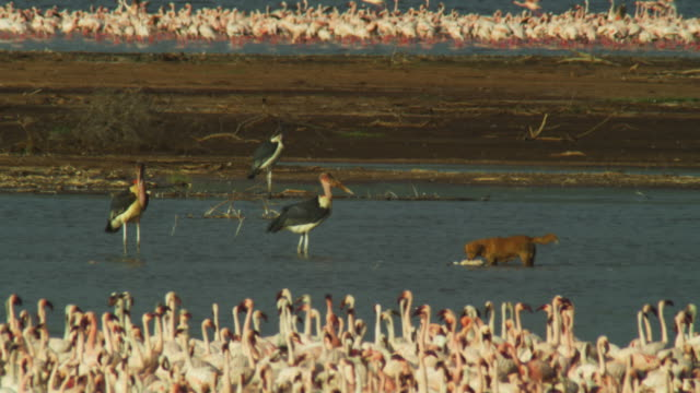 WS domestic dog eats flamingo carcase with Marabou storks and massed flock in foreground