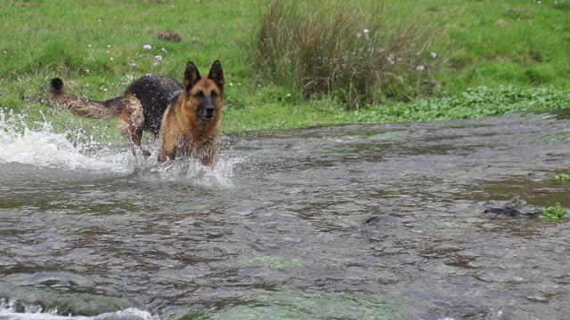 "vídeos y material grabado en eventos de stock de ""domestic dog, german shepherd dog, male crossing a river, normandy, slow motion"" - cruzar"