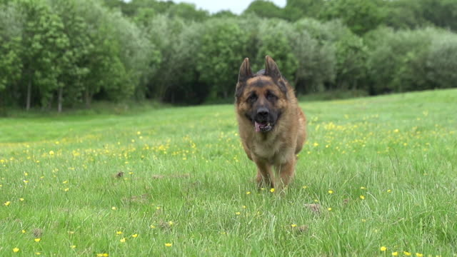 """Domestic Dog, German Shepherd Dog, Male running on Grass, Normandy, Slow motion"""