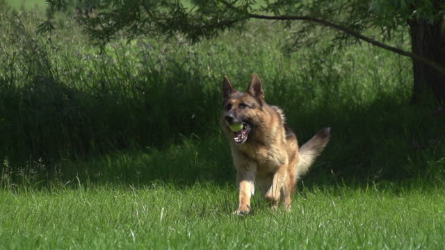 """Domestic Dog, German Shepherd Dog, Male running on Grass, playing with Ball, Normandy, Slow motion"""