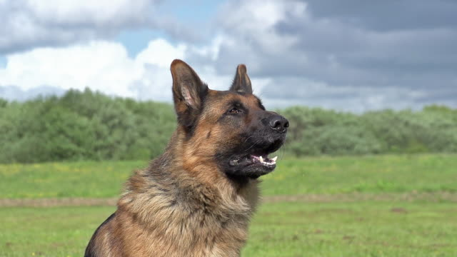 """Domestic Dog, German Shepherd Dog, Male Yapping, Normandy, Slow motion"""