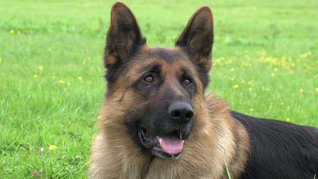"""Domestic Dog, German Shepherd Dog, Portrait of Male, Normandy, Real Time"""