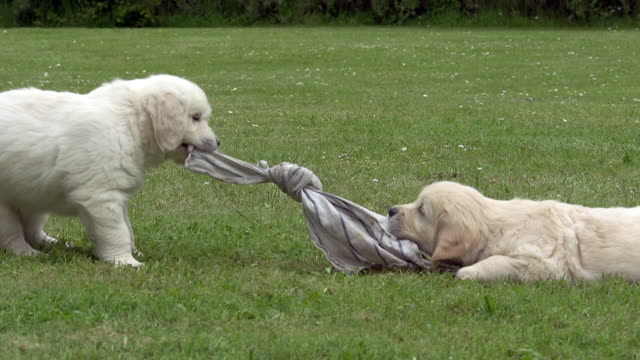 """domestic dog, golden retriever, cubs playing on grass, normandy, real time"" - puppy stock videos & royalty-free footage"