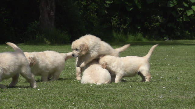 """Domestic Dog, Golden Retriever, Cubs running on Grass, Normandy, Slow motion"""