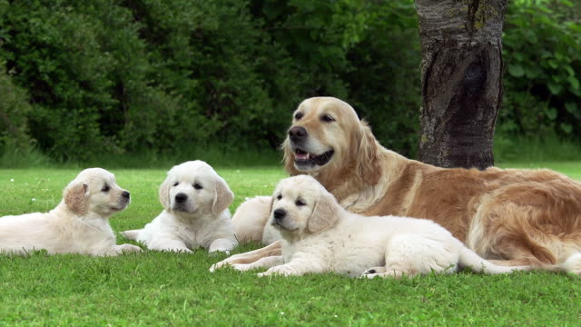 """domestic dog, golden retriever, mother and cubs, normandy, real time"" - golden retriever stock videos and b-roll footage"