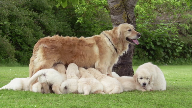 """Domestic Dog, Golden Retriever, Mother and Cubs Suckling, Normandy, Real Time"""