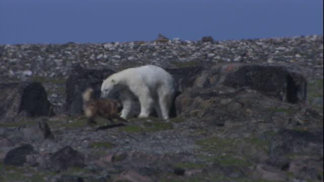 A domestic dog hassles a polar bear.