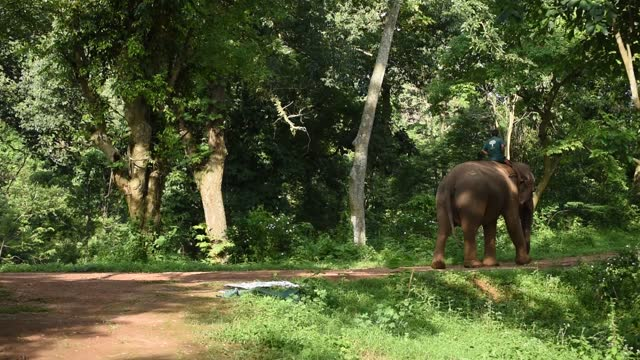 domestic elephant with mahout walking on a hillside road of guwahati, india on 16 june 2020. - animals in the wild stock videos & royalty-free footage