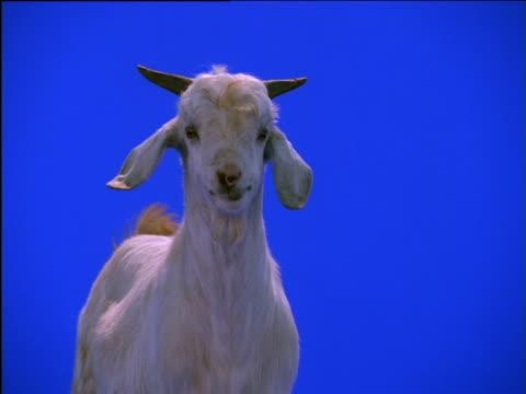 domestic goat chews food then turns away - ヤギ点の映像素材/bロール