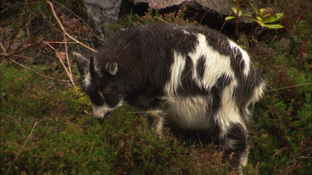 domestic goat feeds on hillside in rain, uk - heather stock videos & royalty-free footage
