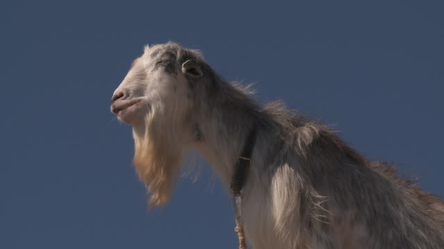 domestic goat look upwards - masticare video stock e b–roll