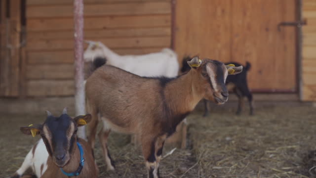 domestic goats at front yard of village house - small stock videos & royalty-free footage