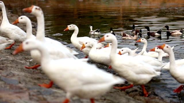 stockvideo's en b-roll-footage met binnenlandse goose kudde - dierenvleugel