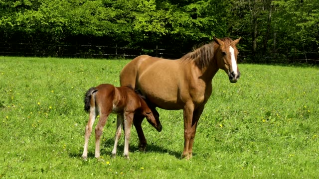 domestic horse, mare with drinking foal - animal family stock videos & royalty-free footage