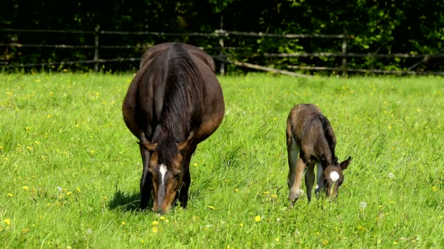 domestic horse, mare with foal on the pasture - pferd stock-videos und b-roll-filmmaterial