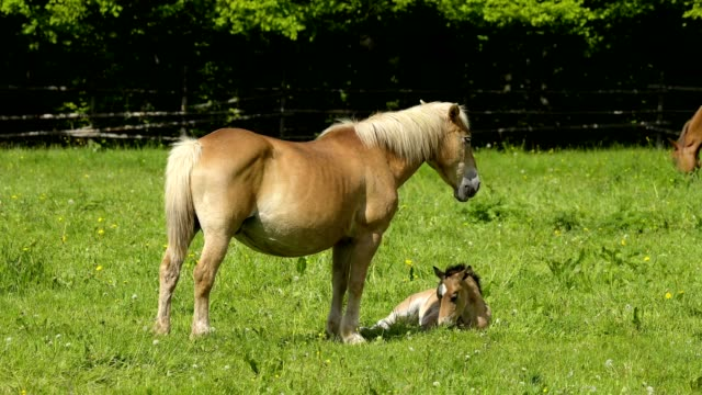 domestic horse, mare with foal on the pasture - pasture stock-videos und b-roll-filmmaterial