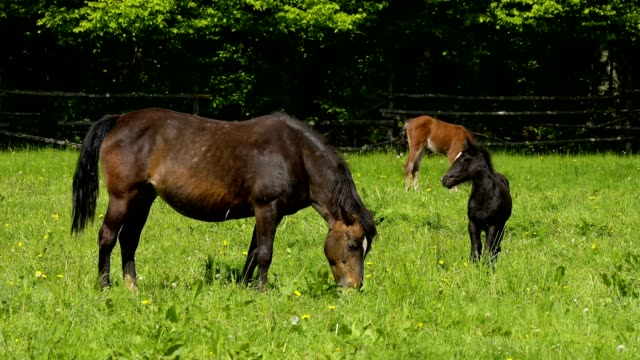 vídeos y material grabado en eventos de stock de domestic horse, mare with two foals on the pasture - prado