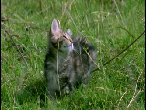 Domestic kitten in meadow watches white butterfly, then leaps to grab butterfly, but misses