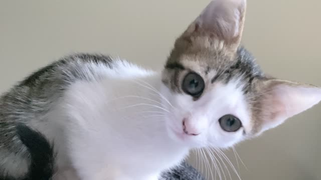 domestic little cat looking at camera - looking at camera video stock e b–roll