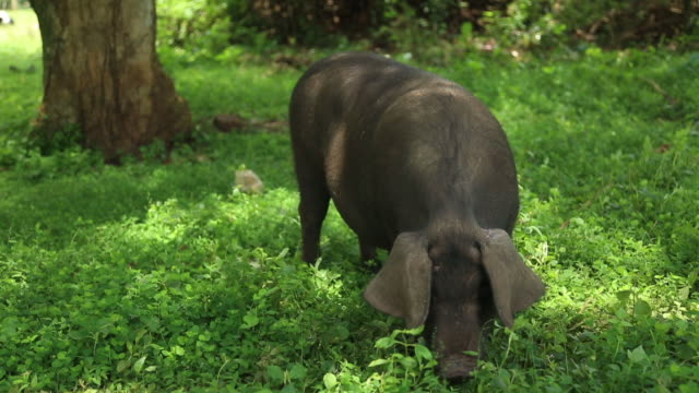 Domestic Pig in a forest farm, Uganda 1