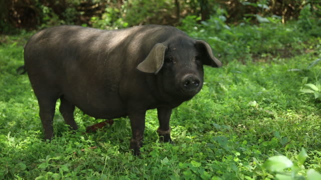 Domestic Pig in a forest farm, Uganda 2