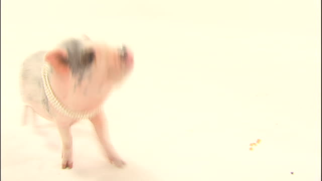 stockvideo's en b-roll-footage met a domestic pig wearing a string of pearls sniffs the air as it stands on a white surface. - parel juwelen