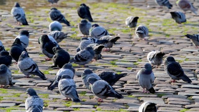 Domestic pigeon, Columba livia forma domestica, group of birds, Miltenberg, Bavaria, Germany