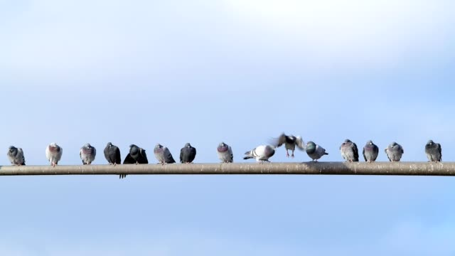 domestic pigeon, columba livia forma domestica, group of birds on pole, miltenberg, bavaria, germany - 隊列点の映像素材/bロール
