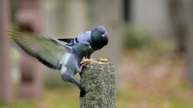 domestic pigeons are fed in the park - colomba video stock e b–roll