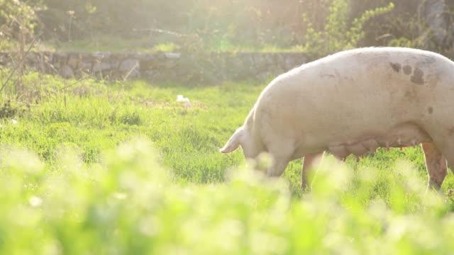 vídeos de stock e filmes b-roll de domestic pigs eating in nature - porco