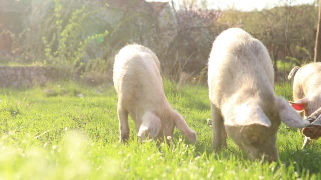 domestic pigs eating in nature - pig stock videos & royalty-free footage