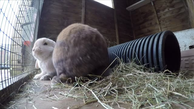 domestic rabbits in a rabbit hutch - osterhase stock-videos und b-roll-filmmaterial
