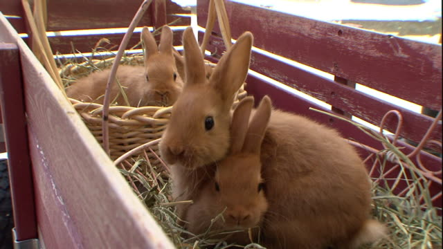 vidéos et rushes de domestic rabbits sit in baskets: placed in a pen. - lapin
