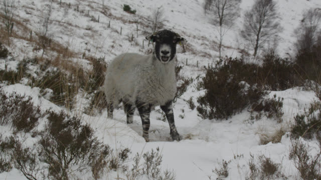 Domestic sheep calls on snowy mountainside, Cumbria, England