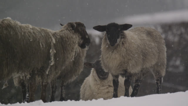 Domestic sheep chew the cud in snow, Cumbria, England