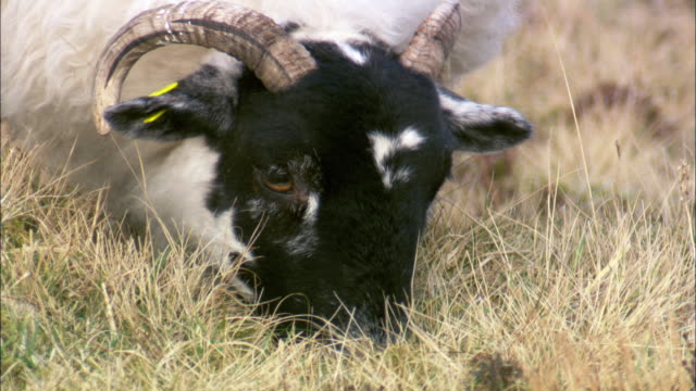 domestic sheep grazes, wales, uk - sheep stock videos & royalty-free footage