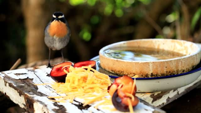 vídeos y material grabado en eventos de stock de nacional de vida silvestre: cossypha caffra-chat comer - baño para pájaros