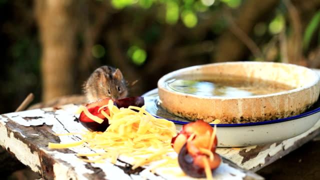 einheimische wildtiere: field mouse essen - käse stock-videos und b-roll-filmmaterial