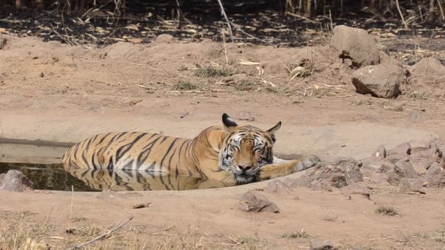 a dominant female tigress cooling off in a waterhole inside bandhavgarh national park during a wildlife safari - safari india stock videos and b-roll footage