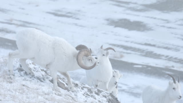 A dominant male Mountain Sheep chases females