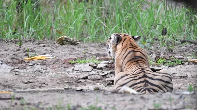 a dominant tigress baras relaxing in the waterhole to beat the heat in pench tiger reserve - safari india stock videos and b-roll footage