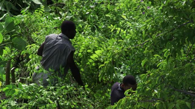 vídeos y material grabado en eventos de stock de dominican republic: deforestation and weed control - antillas occidentales