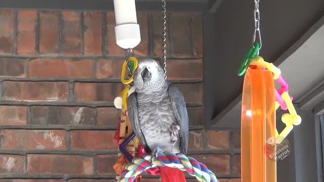 don juan, casanova, and romeo were are all great lovers. let's add einstein parrot to the list! what lady could resist the attention of this handsome... - add list stock videos & royalty-free footage