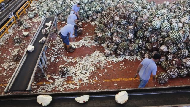 Don Julio employees work by cutting agave hearts or piñas down to thirds or halfs to put it to a conveyor belt to be taken to the ovens Wide panning...