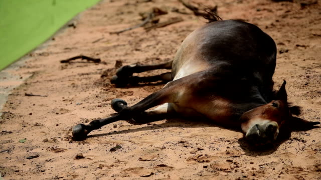 donkey disturbed by insect during sleeping - donkey stock videos & royalty-free footage
